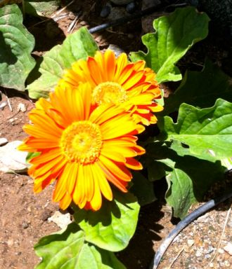 0 spring flower